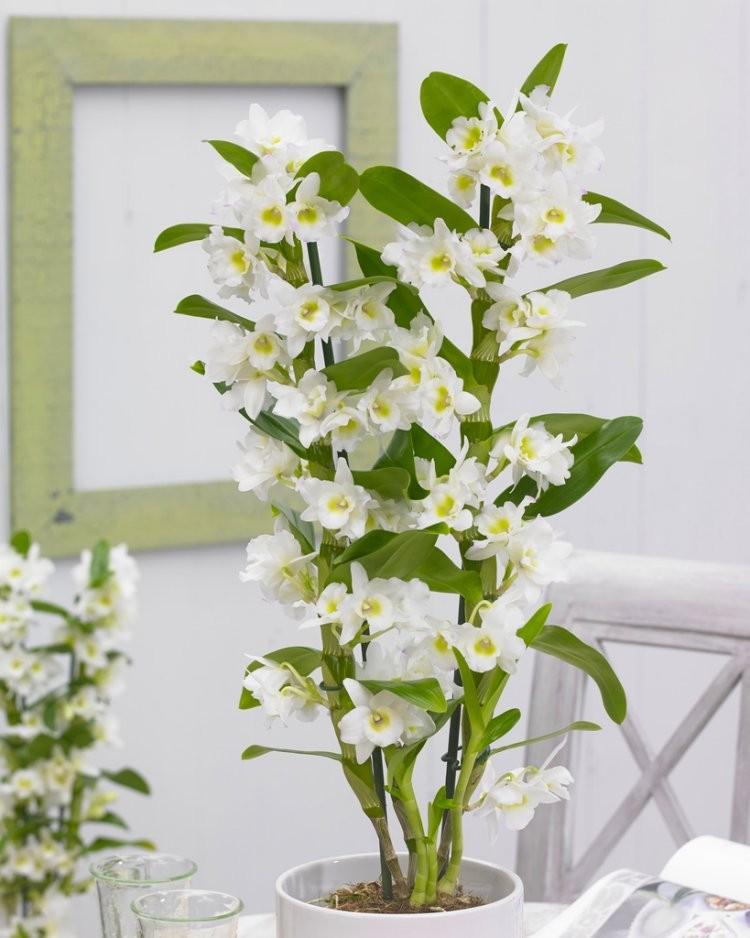 Dendrobium Nobilis White Towering Nobile Orchid Premium