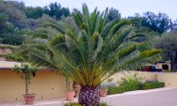 PAIR of Giant Phoenix canariensis - Canary Island Date ...