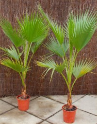 SPECIAL DEAL - Mexican Fan Palms - Washingtonia Robusta ...