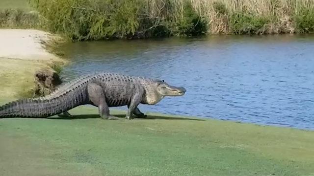 giant alligator sneaks up