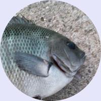 エサ釣りで人気のメジナ