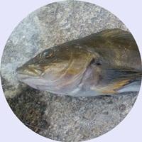 ルアー釣りでも人気のアイナメ