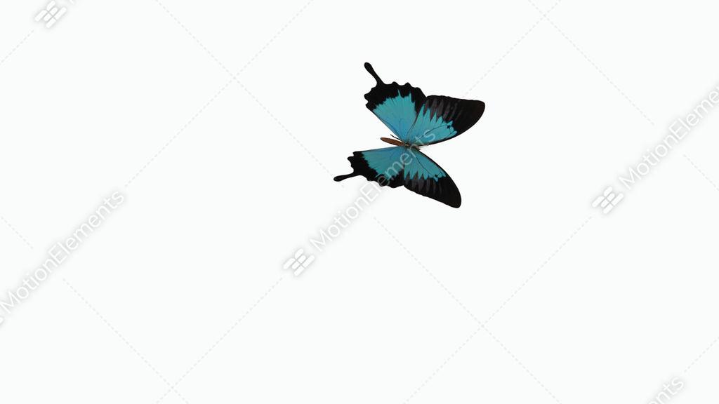 Butterfly Flies Across The Screen, Alpha Channel Stock
