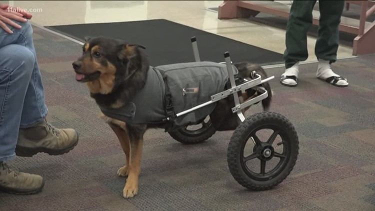 wheelchair dog vector bound returned for fourth time heads back to jail