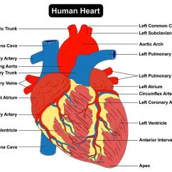 Healthy Heart Diagram Fetal Pig Dissection Digestive System Hearts 6 Ways To Keep Your And In Tip