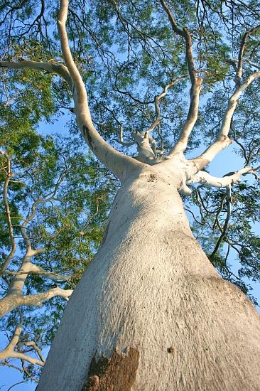 Eucalyptus tessellaris on 365 Project