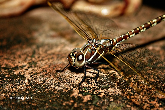 my dragonfly on 365 Project