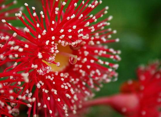 Corymbia Summer Red on 365 Project