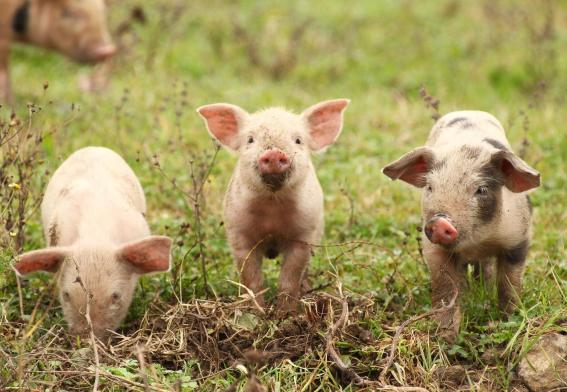 Image result for pigs
