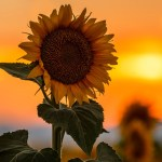 Incredible Sunflower Photos From Across Denver And Colorado 9news Com