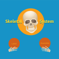 Lab Values Skeleton Diagram Tankless Water Heater Piping Learn The Skeletal System A Fun Interactive Game Students Click And Drag Names Of Major Bones To Appropriate Box In