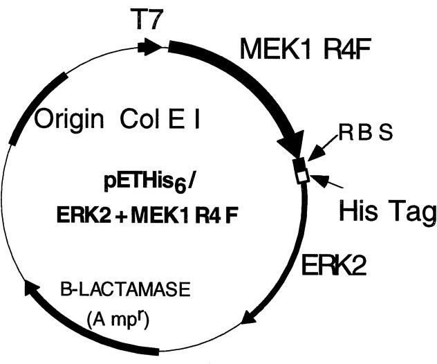 Addgene: pET-His6-ERK2-MEK1_R4F_coexpression