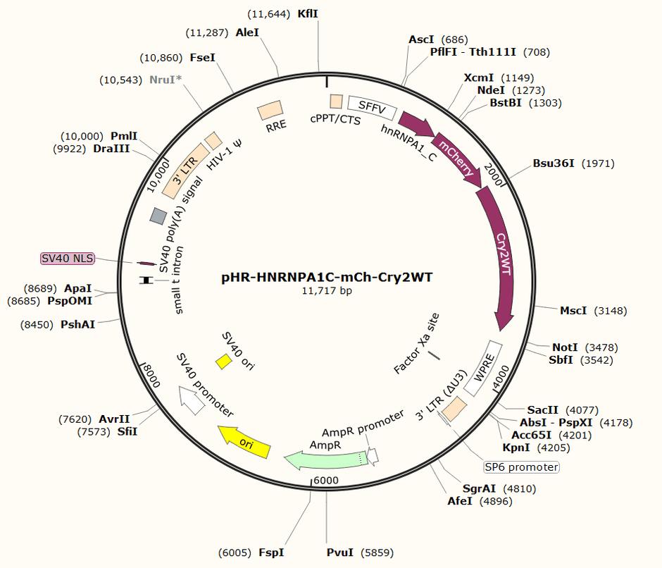 Addgene: pHR-HNRNPA1C-mCh-Cry2WT