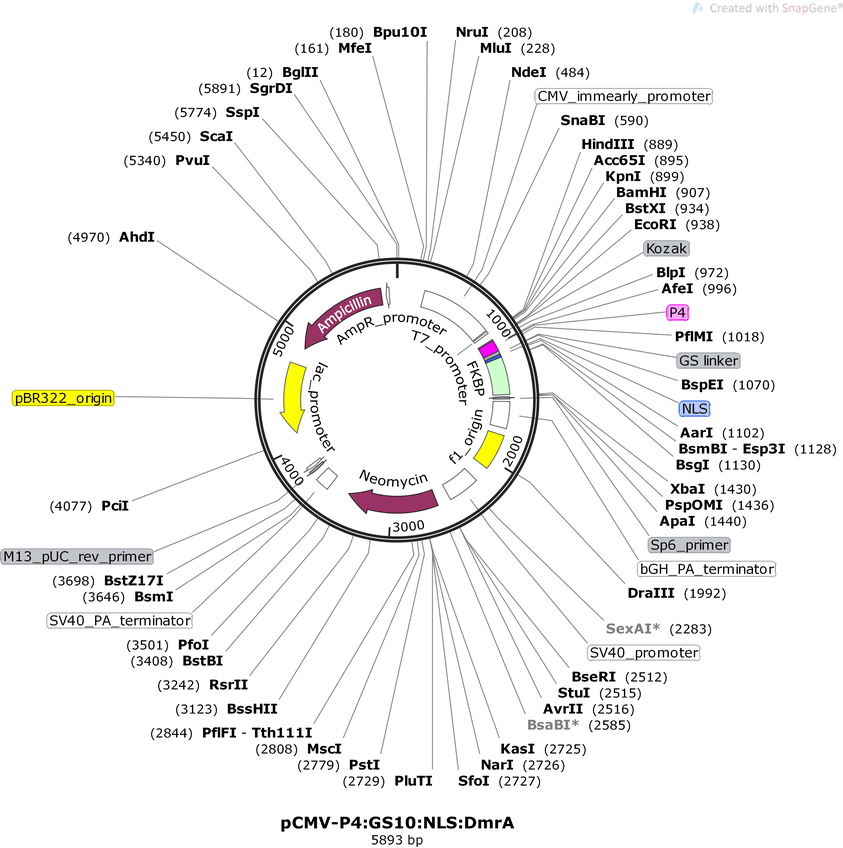 Addgene: pcDNA3-P4:gs:nls:FKBP