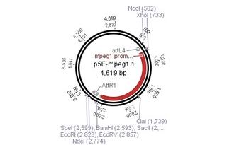Addgene: p5E-mpeg1.1