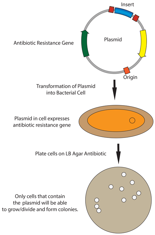 Plasmid Bacteria Mechanism Transformation