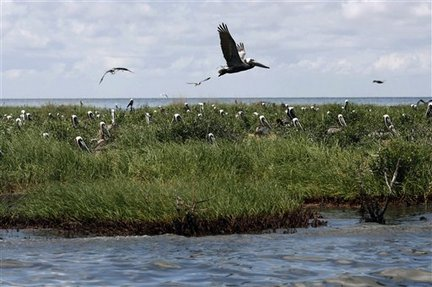 Oil spill begins soaking birds in delicate Louisiana marshes.