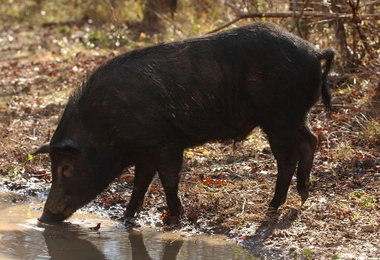 Image result for wild hog