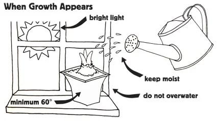 Amaryllis Growing Instructions