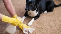 How to Get Pet Urine Smell Out of Carpet