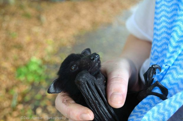 A baby flying fox rescued by WIRES volunteers at Casino.