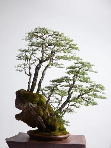 Bonsai Tree by Ryan Neils Bonsai Mirai in Oregon  Architectural Digest