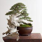 Bonsai Mirai The Art Of Creating The Perfect Bonsai Tree