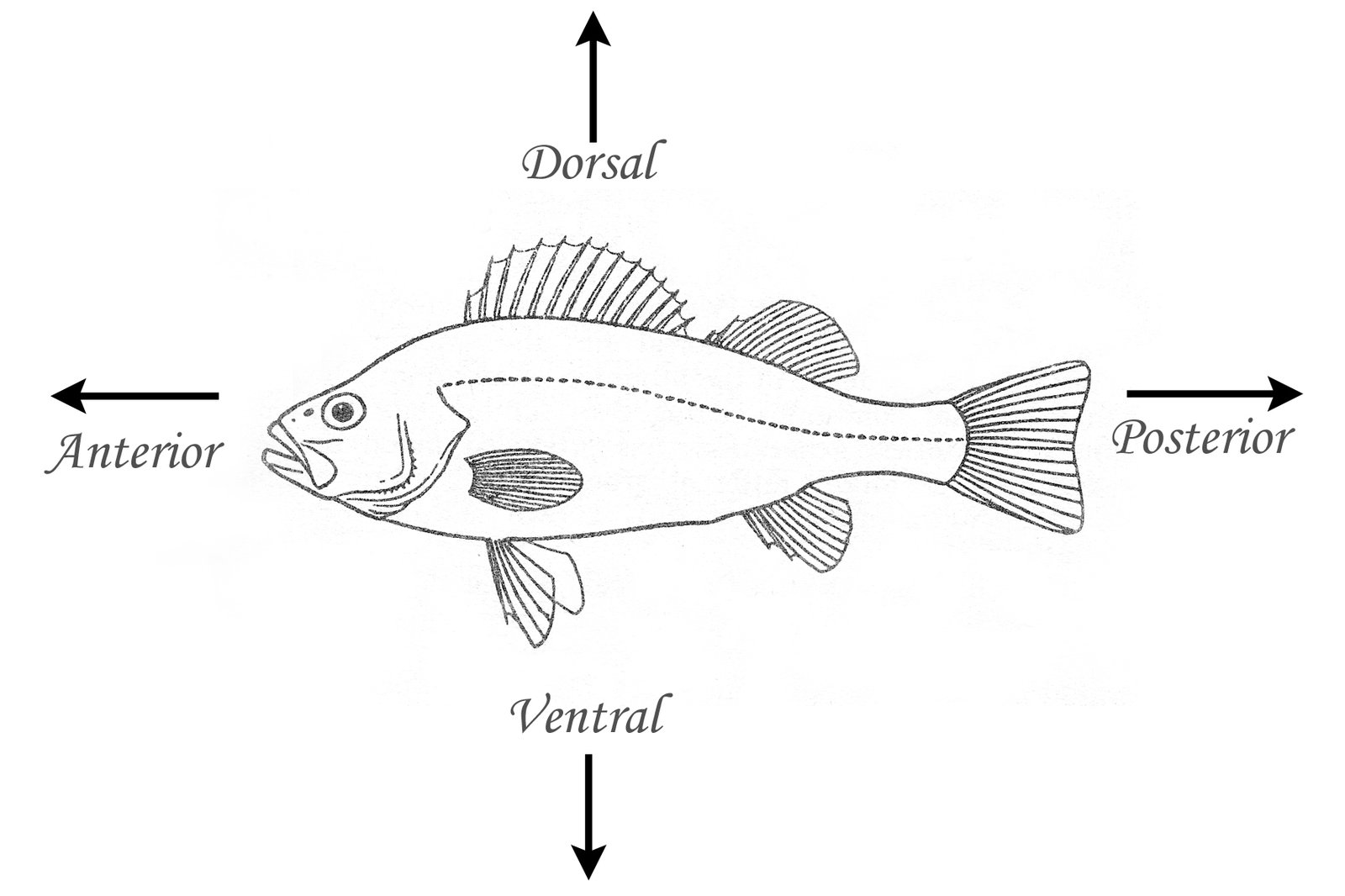 hight resolution of fish with dorsal ventral anterior posterior labelled