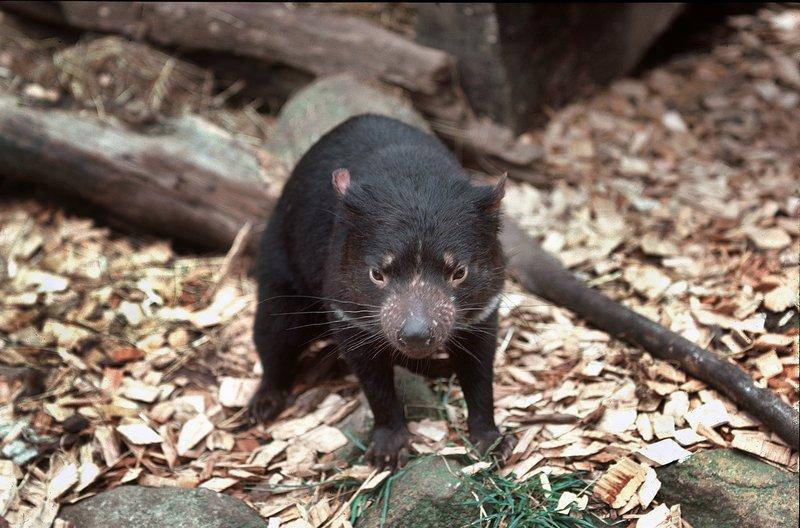 tasmanian devil the australian