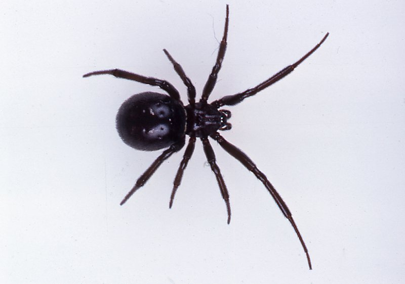 cupboard spiders the australian