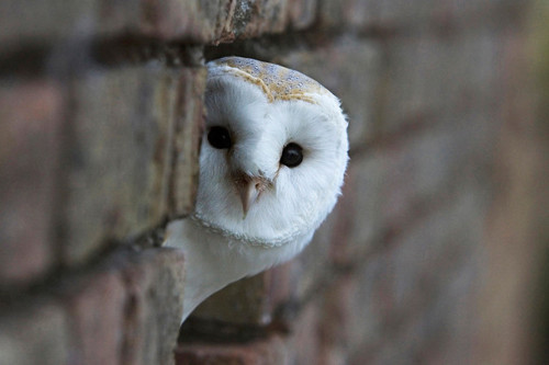 Cute Barn Tyto Owl Wallpaper Ranking The 8 Most Adorable Species Of Owl Theslicedpan Com