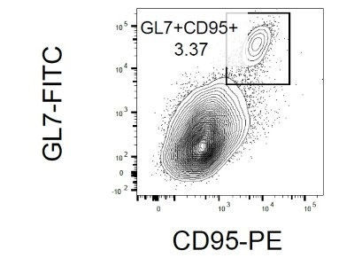 Nice Antibody To Detect Germinal Center B Cells