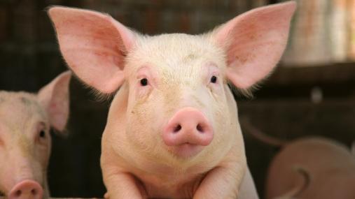 Recombinetics edits pigs' genes for biomedical research purposes