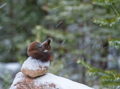 Kurre på stenröset i snöfall 2 L