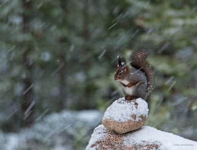 Kurre på stenröset i snöfall L