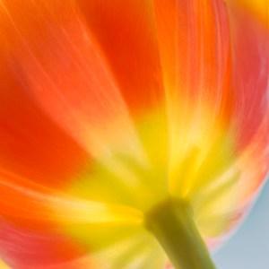 Tulpantider och en stor stark … sol