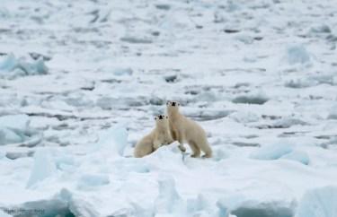 Isbjörnsungar vädrar
