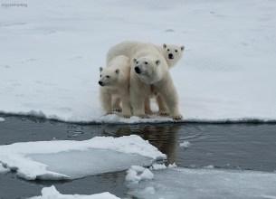 Mamma isbjörn med båda ungarna