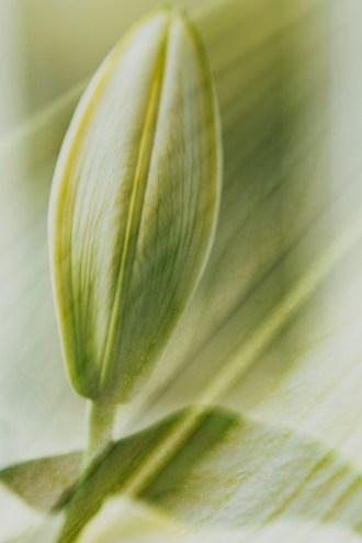 Liljan i knopp, av Margareta