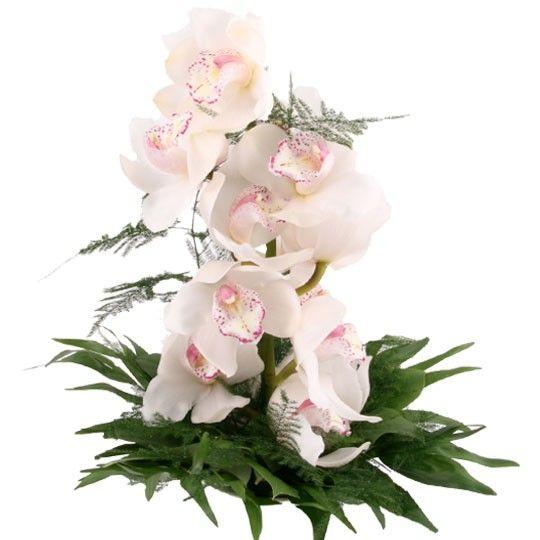Orchidee  Traum in Wei online deutschlandweit versenden