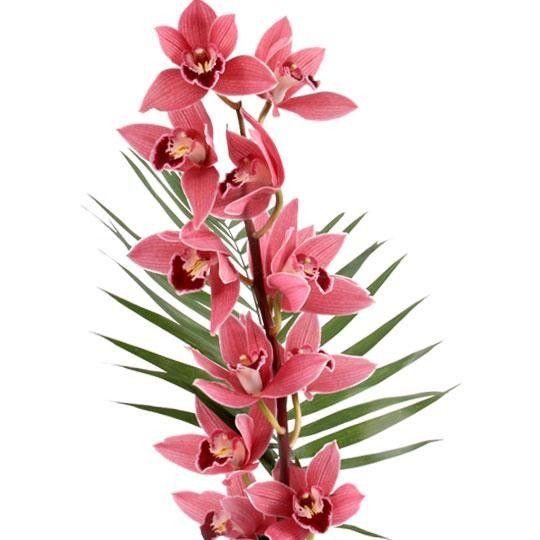 Orchideen Cymbidien mit Rabatt  Sie whlen Farbe
