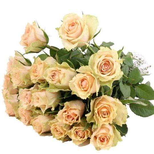Rosenversand weie Rosen im Bund  weie Rosen online