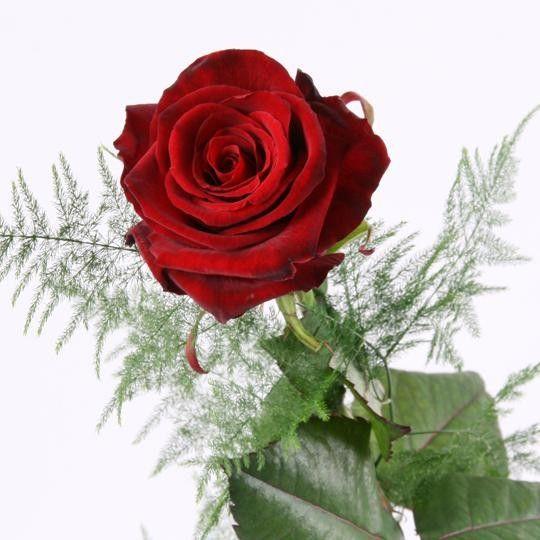 Rote Rose  das Symbol fr Liebe und Leidenschaft