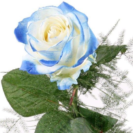 Rose WeissBlau  Blumen online deutschlandweit bestellen