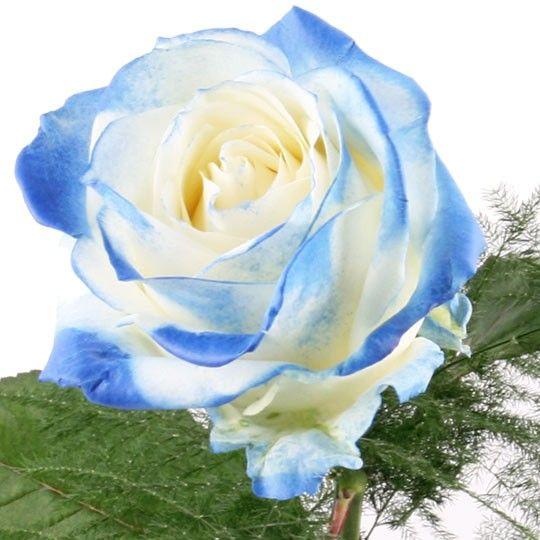 Rose WeissBlau  Blumen online deutschlandweit bestellen mit wwwblumenfeede  dem Blumenversand