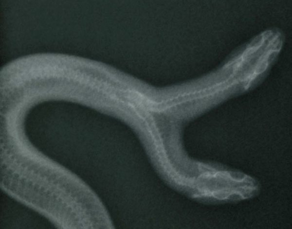 Multimedia Archive 02085 Two-Headed-Snake-X 2085376I