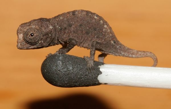 Wpf Media-Live Photos 000 488 Cache Tiniest-Chameleon-Found-Match 48801 600X450
