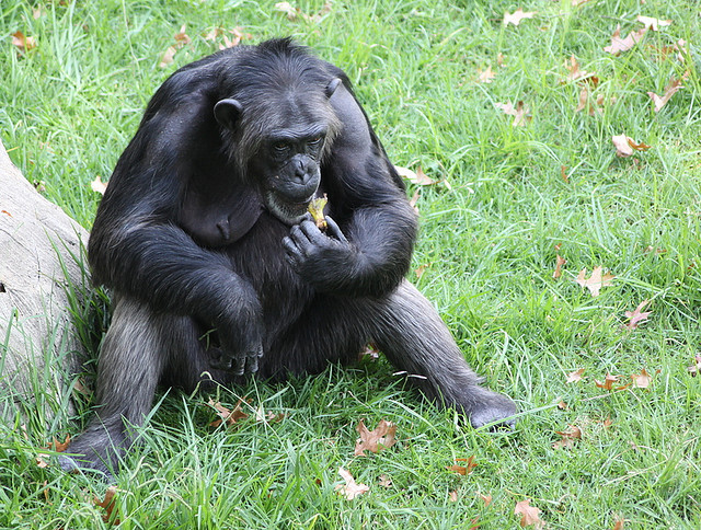 What You Can Learn From A Chimpanzees Diet  Boing Boing-9463