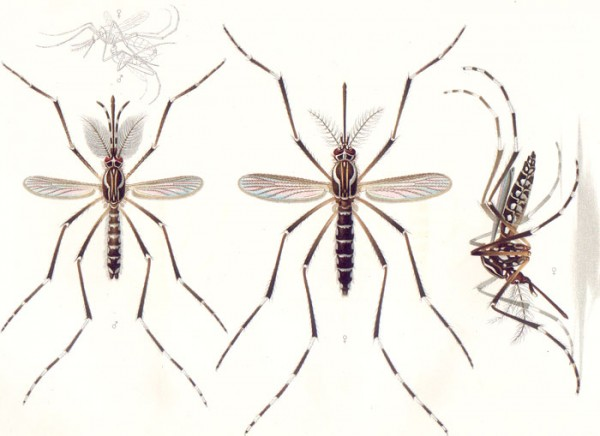 How to tell whether a mosquito is male or female (without