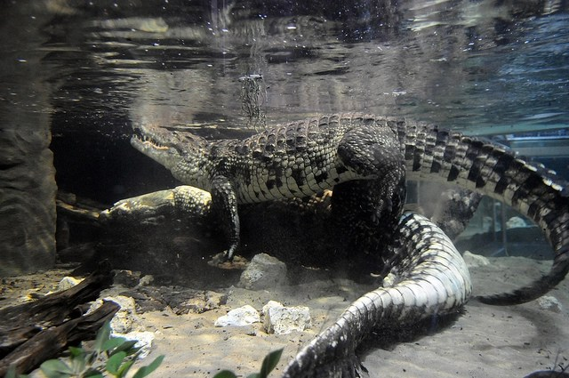 How Do Crocodiles Have Sex 56